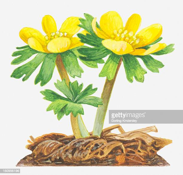 illustration of eranthis hyemalis (winter aconite), bright yellow flowers - buttercup stock illustrations, clip art, cartoons, & icons