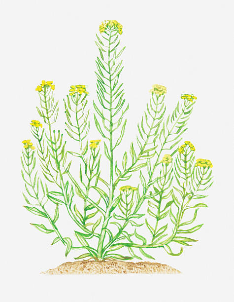 Illustration Of Erysimum Cheiranthoides (Treacle-mustard), Leaves And Yellow Flowers On Branching Stems Wall Art