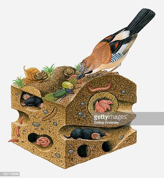 illustration of eurasian jay (garrulus glandarius) pulling worm from soil on top of european mole, (talpa europaea) burrow - 食物連鎖点のイラスト素材/クリップアート素材/マンガ素材/アイコン素材