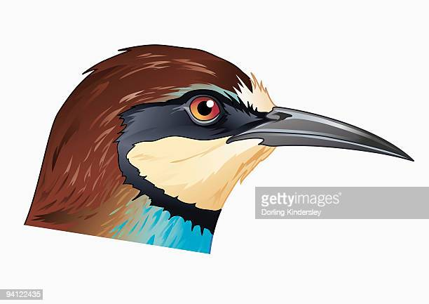 Illustration of European Bee-eater (Merops apiaster), profile showing curved beak