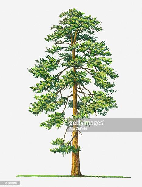 illustration of evergreen pinus ponderosa (ponderosa pine) tree - ponderosa pine tree stock illustrations, clip art, cartoons, & icons