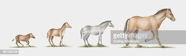 illustration of evolution of the horse - vertebrate stock illustrations