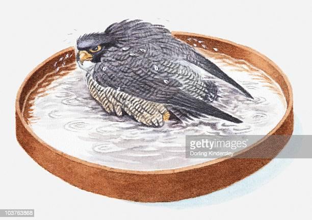 ilustrações de stock, clip art, desenhos animados e ícones de illustration of falcon in bird bath - falcon bird
