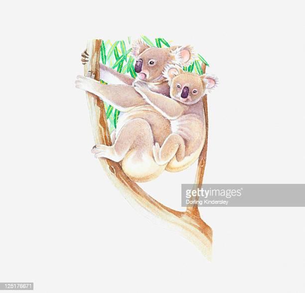 illustration of female koala (phascolarctos cinereus) in eucalyptus tree with baby on back - australia day stock illustrations