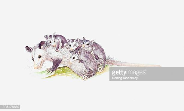 illustrazioni stock, clip art, cartoni animati e icone di tendenza di illustration of female opossum (didelphimorphia) with young - opossum