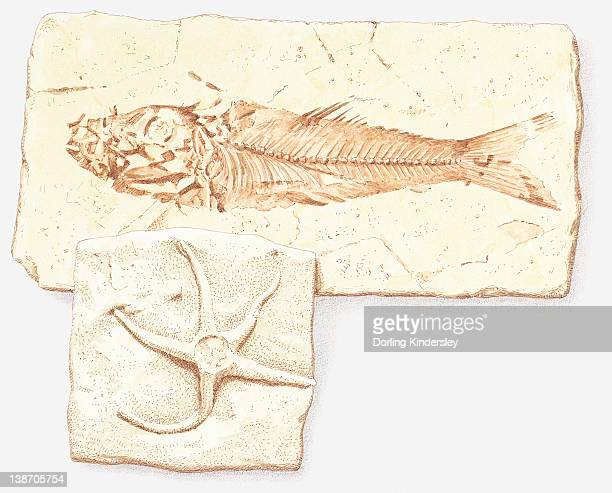 Illustration of fish and starfish fossils