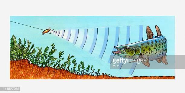 ilustraciones, imágenes clip art, dibujos animados e iconos de stock de illustration of fish detecting vibrations underwater by fishing lure - animal vertebrado