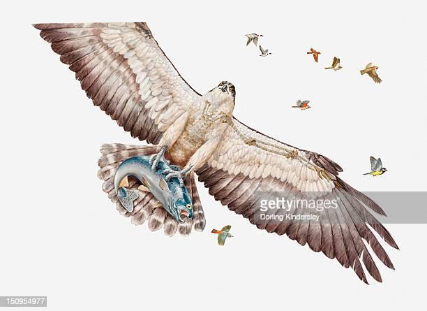 ilustraciones, imágenes clip art, dibujos animados e iconos de stock de illustration of fish eagle or osprey (pandion haliaetus) carrying its prey - alas desplegadas