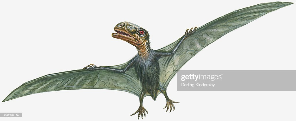 Illustration of flying Anurognathus with large head, sharp teeth, and narrow, spread wings : Ilustración de stock
