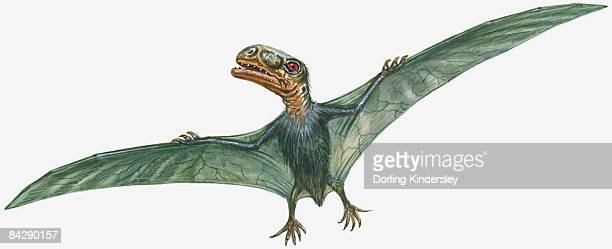 ilustraciones, imágenes clip art, dibujos animados e iconos de stock de illustration of flying anurognathus with large head, sharp teeth, and narrow, spread wings - era prehistórica
