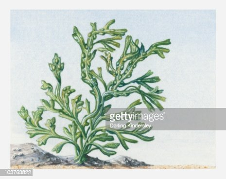 Seaweed Illustration