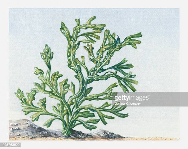 algae illustration algae stock illustrations and cartoons getty images 650