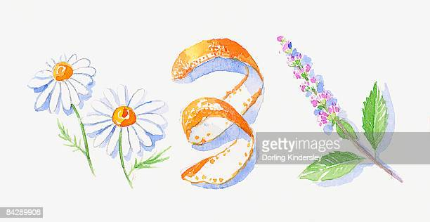 ilustraciones, imágenes clip art, dibujos animados e iconos de stock de illustration of german chamomile flowers, orange peel, and peppermint flowers and leaves on stem - planta de manzanilla