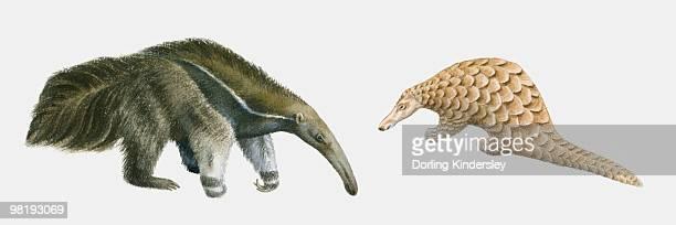 illustration of giant anteater (myrmecophaga tridactyla), and indian pangolin (manis crassicaudata) - anteater stock illustrations