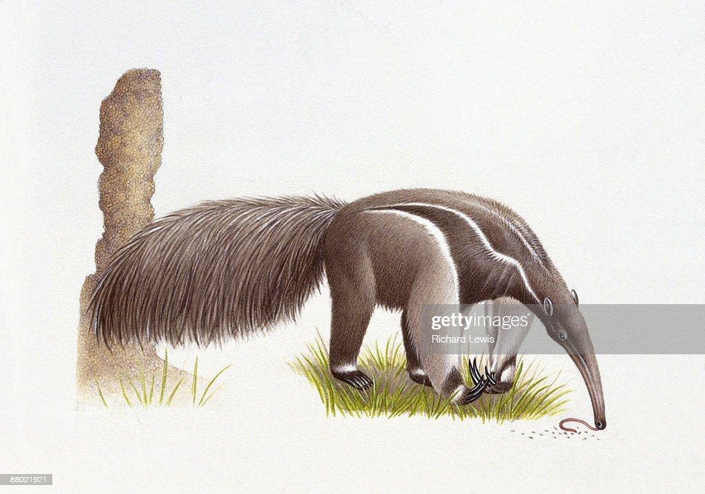 Illustration of Giant Anteater (Myrmecophaga tridactyla) feeding on worms  : stock illustration