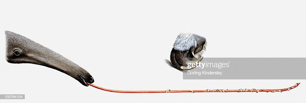 Illustration of Giant anteater's (Myrmecophaga tridactyla) tongue with ants trapped on it, and forepaw with claws : stock illustration