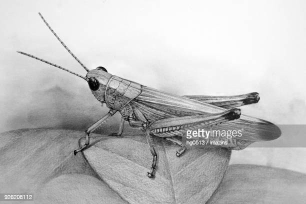 Illustration of Grasshopper