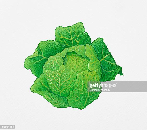 illustrazioni stock, clip art, cartoni animati e icone di tendenza di illustration of green cabbage - cavolo cappuccio verde