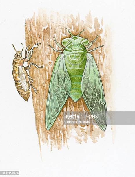 illustrations, cliparts, dessins animés et icônes de illustration of green cicada and brown skin on tree trunk - cigale