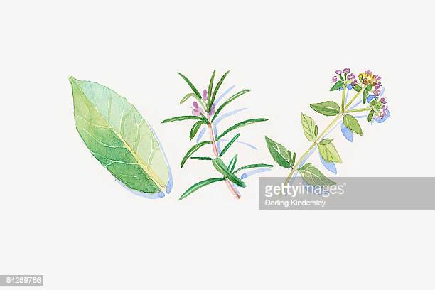 illustration of green eucalyptus leaf, rosemary and marjoram stem, flowers and leaves - ユーカリの葉点のイラスト素材/クリップアート素材/マンガ素材/アイコン素材