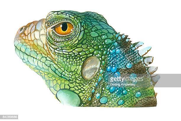 Ilustraciones De Stock Y Dibujos De Iguana Verde
