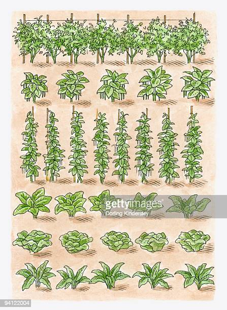 illustration of green peas, french beans, runner beans, spinach, lettuce, broad beans, swiss chard,  - chard stock illustrations, clip art, cartoons, & icons