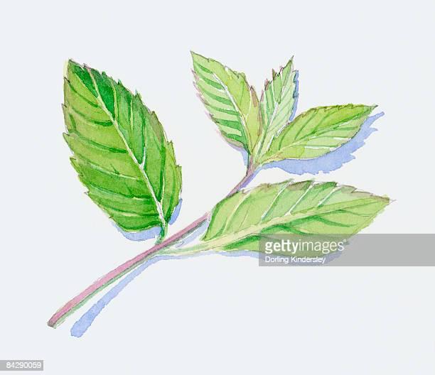 illustration of green peppermint leaves on stem - ペパーミント点のイラスト素材/クリップアート素材/マンガ素材/アイコン素材