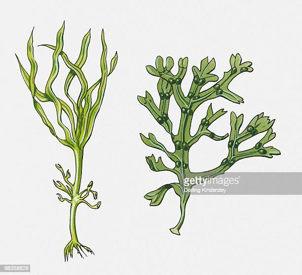 Illustration of green seaweed and kelp