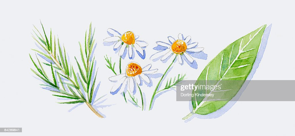 Illustration of green tea tree leaves on stem, German chamomile flowers, and green petitgrain leaf : Ilustración de stock