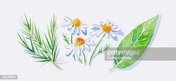 ilustraciones, imágenes clip art, dibujos animados e iconos de stock de illustration of green tea tree leaves on stem, german chamomile flowers, and green petitgrain leaf - planta de manzanilla