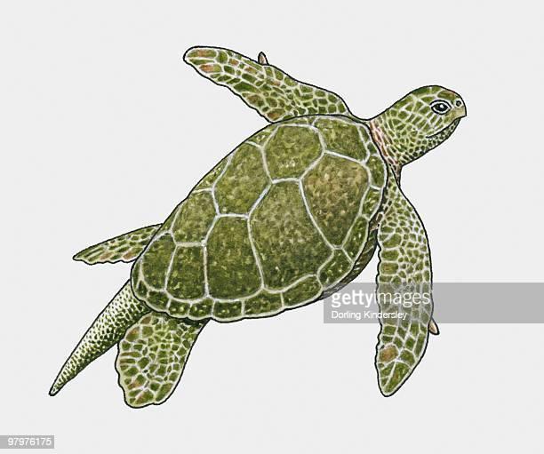 illustration of green turtle (chelonia mydas) - green turtle stock illustrations, clip art, cartoons, & icons