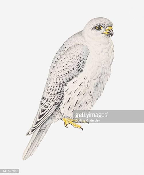 ilustrações de stock, clip art, desenhos animados e ícones de illustration of grey falcon (falco hypoleucos) - falcon bird