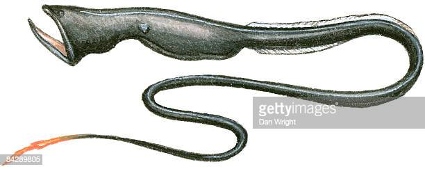 Illustration of Gulper Eel or Pelican Eel (Eurypharynx pelecanoides), a deep sea fish also known as Umbrella Mouth Gulper, with large mouth and lower jaw, and long tail