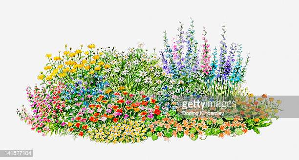 illustration of hardy annual flowerbed in garden - ranunculus stock illustrations, clip art, cartoons, & icons