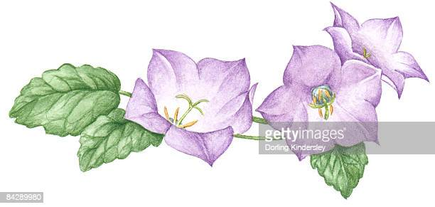 illustration of helleborus (lenten rose) with pale purple petals and green leaves - ranunculus stock illustrations, clip art, cartoons, & icons