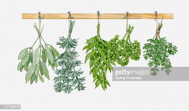 illustration of herbs hung up to dry - basil stock illustrations, clip art, cartoons, & icons