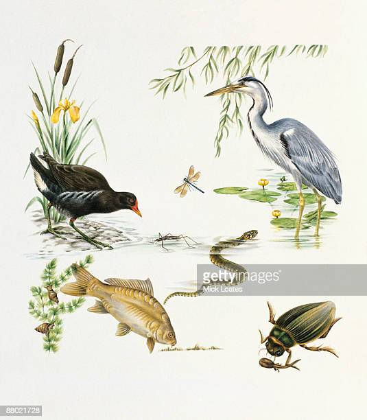 illustration of heron, moorhen, darner dragonfly, water boatman, diamondback water snake, freshwater snails on pond weed, mirror carp, diving beetle feeding on tadpole, water lillies, and bulrush, found in ponds and rivers - 食物連鎖点のイラスト素材/クリップアート素材/マンガ素材/アイコン素材