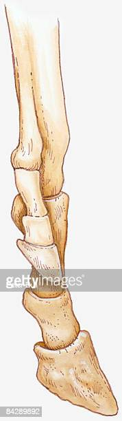 Illustration of Hipparion leg with centre toe touching ground