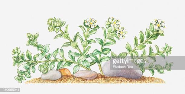 illustration of honkenya peploides (sea sandwort), wildflowers - sandwort stock illustrations, clip art, cartoons, & icons