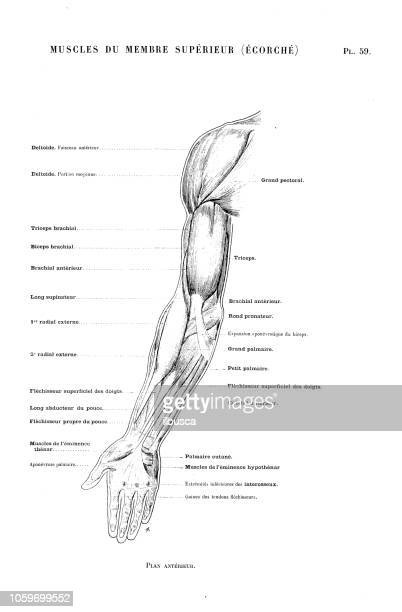 illustration of human body anatomy from antique french art book: arm muscles - human arm stock illustrations