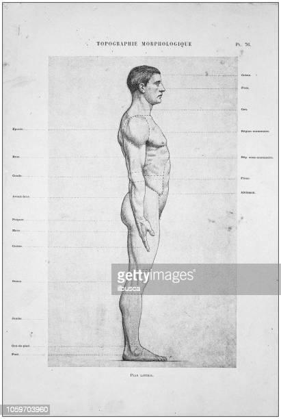 bildbanksillustrationer, clip art samt tecknat material och ikoner med illustration av människokroppen anatomi från antika franska konstbok - naken