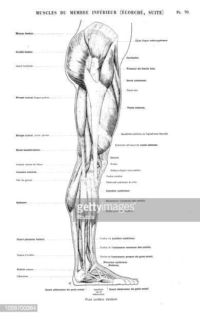 illustration of human body anatomy from antique french art book: leg and foot muscles - human body part stock illustrations, clip art, cartoons, & icons