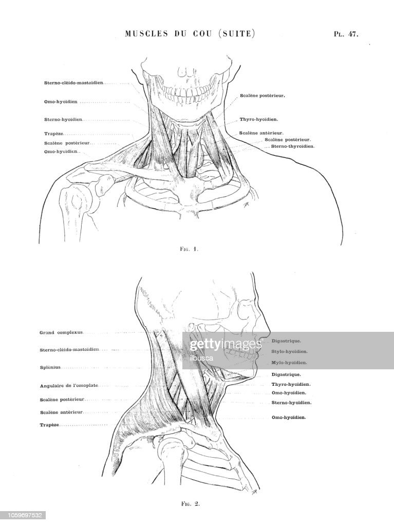 Illustration Of Human Body Anatomy From Antique French Art Book Neck And Torso Muscles High Res Vector Graphic Getty Images