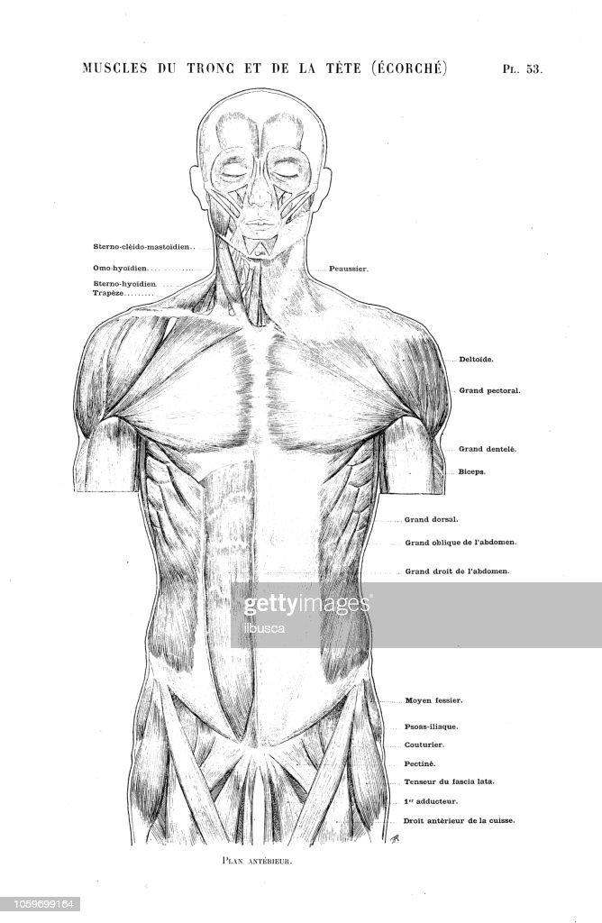 Illustration Of Human Body Anatomy From Antique French Art Book Torso And Head Muscles High Res Vector Graphic Getty Images