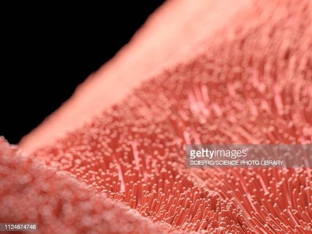 illustration of human cilia - cilium stock illustrations