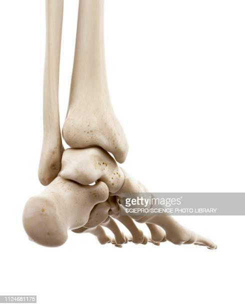 ilustraciones, imágenes clip art, dibujos animados e iconos de stock de illustration of human foot bones - hueso de la pierna