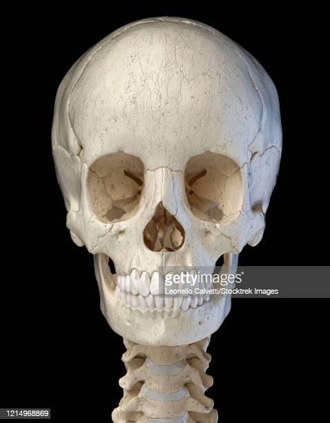 3d illustration of human skull, front view on black background. - menschlicher zahn stock-grafiken, -clipart, -cartoons und -symbole
