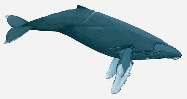 Illustration Of Humpback Whale (Megaptera Novaeangliae) Wall Art