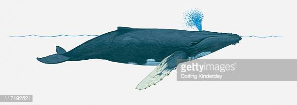 Illustration of Humpback whale (Megaptera novaeangliae) using blowhole on surface of water