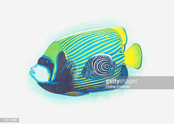 illustration of imperial angelfish - angelfish stock illustrations, clip art, cartoons, & icons